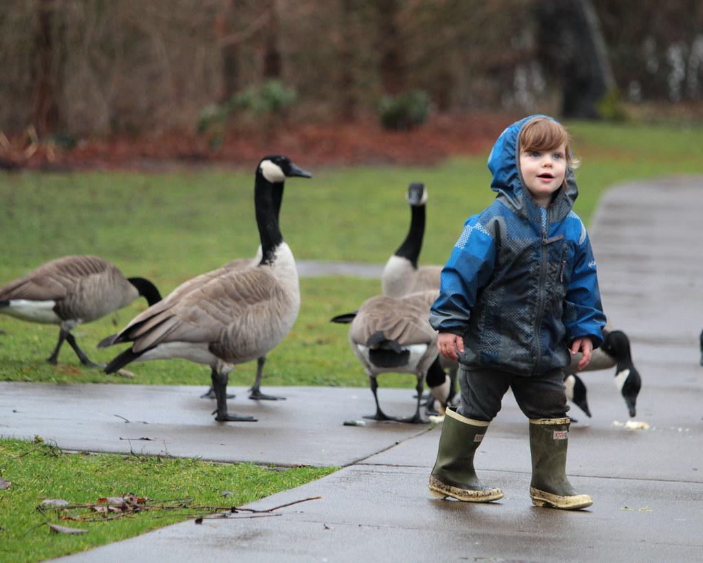 toddler geese